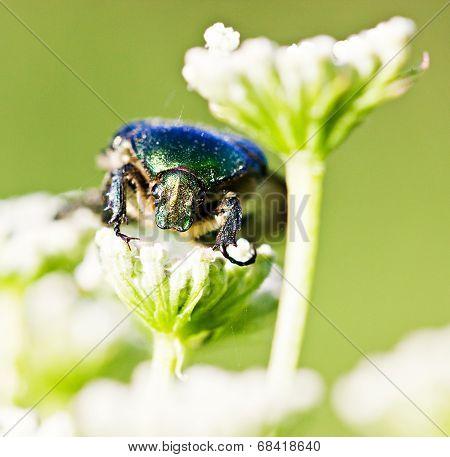 Green Beetle On Flower