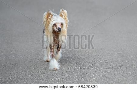 Female Pure Breed Chinese Crested Dog