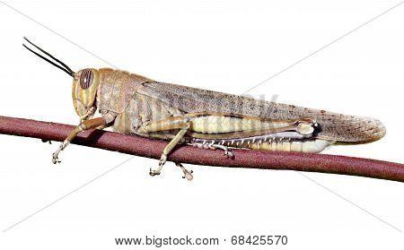 Grasshopper On A Stem