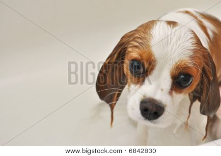 nass Hund cavalier King Charles spaniel