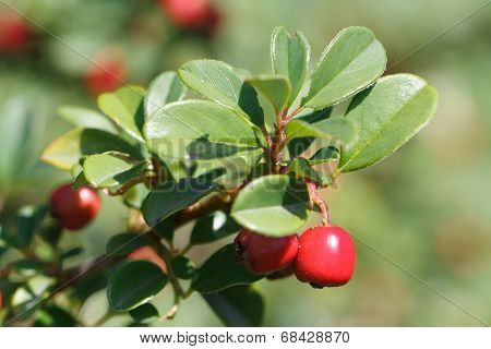 Lingonberry Shrub With Red Berries Outdoors Horizontal