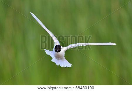 Flying Black-headed Gull (larus Ridibundus).