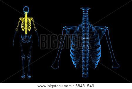 Spinal cord and rib cage