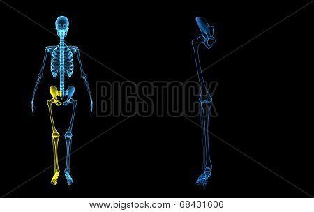 Human Leg