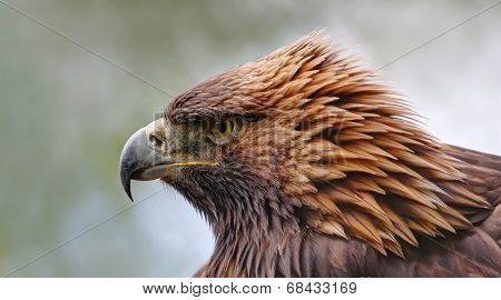 Close-up view of a Golden eagle