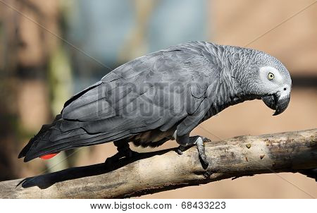 Close-up view of an African grey parrot