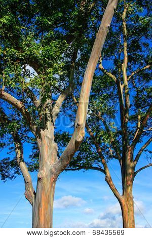 An Eucalyptus Tree In Hawaii