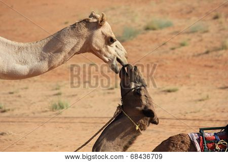 Camels In Love. A Kiss In The Desert