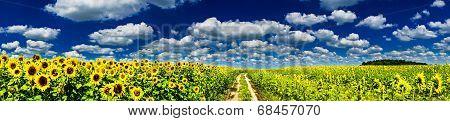 Plantation Of Golden Sunflowers.