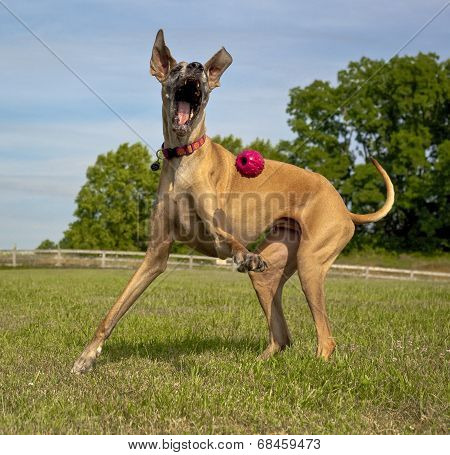 Happy great Dane trying to play with ball