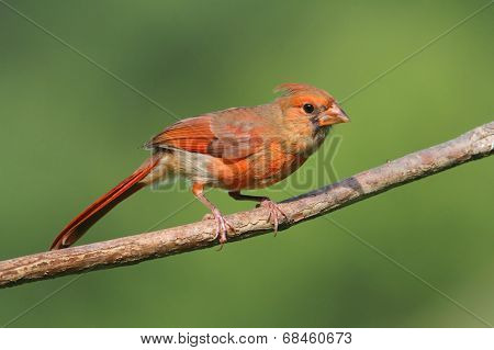 Juvenile Cardinal In A Tree