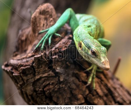 Emerald Tree Monitor, Varanus Prasinus, Climbing On Tree Stump