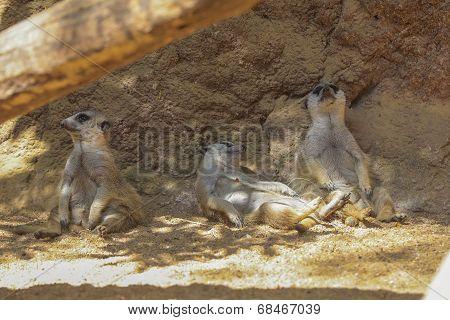 Meerkat Or Suricate (suricata Suricatta)