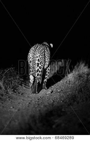 Big Strong Male Leopard Walking Nature At Night In Darkness Artistic Conversion