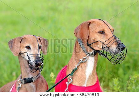Portrait Of Two Sighthound Azawakh On A Green Background