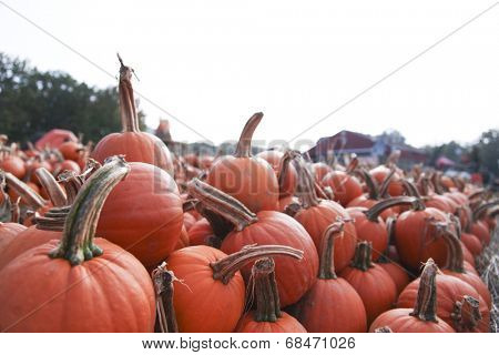 Pumpkins ready for picking on a farm
