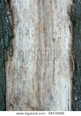 Wood Texture With Traces Of Borers