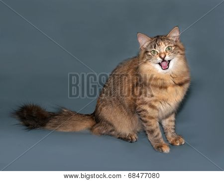 Golden Fluffy Siberian Cat Hisses Sitting On Gray