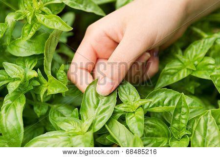 Fresh Basil Ready To Harvest