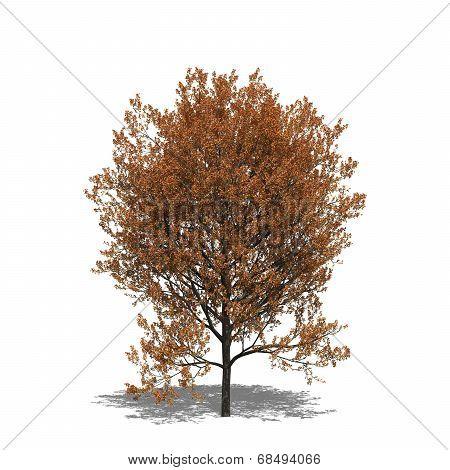 Quercus Rubra (autumn)
