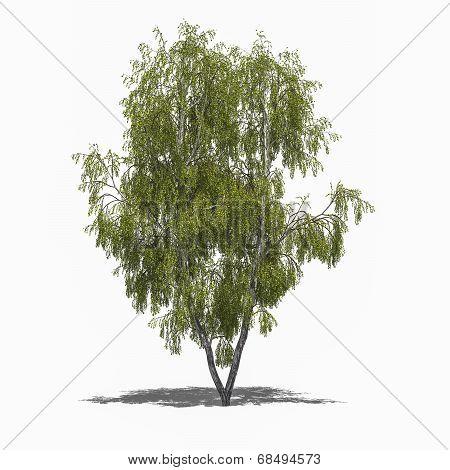 Betula Pendula (summer)