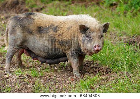 pig sow