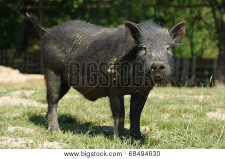 pig little black 5