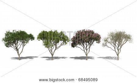 Rain Tree, Samanea Saman (four Seasons)