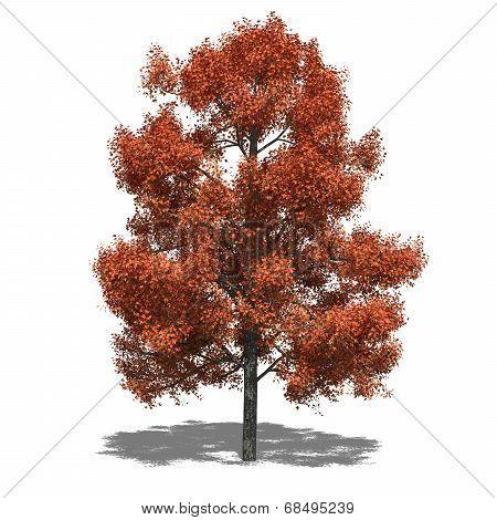 Liquidambar Styraciflua (autumn)