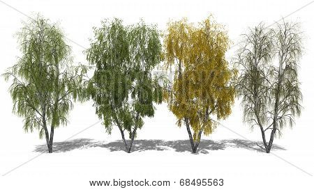 Betula Pendula (four Seasons)