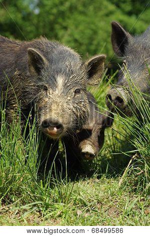 pigs little black