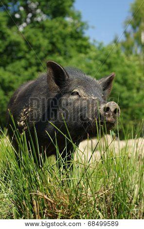 pig little black 3