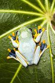 foto of red eye tree frog  - Red eye tree frog - JPG