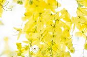 stock photo of cassia  - Golden shower or Cassia fistula flower in the garden or nature park Thailand