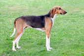 foto of scenthound  - Typical Scenthound Poitevin dog on a spring meadow - JPG