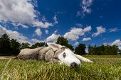 pic of husky  - A husky with blue eyes lying in a meadow on the dog a blue sky with clouds - JPG