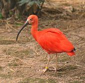 stock photo of scarlet ibis  - Scarlet ibis on  zoo - JPG