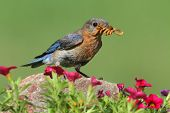 image of bluebird  - Female Eastern Bluebird (Sialia sialis) on a rock with flowers