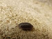 pic of crustaceans  - A wet places crustacean walking on cement - JPG