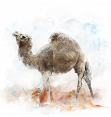 picture of hump  - Watercolor Digital Painting Of  Single - JPG