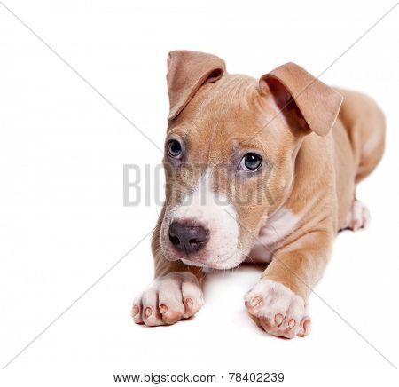American Pit Bull Terrier puppy isolated on white