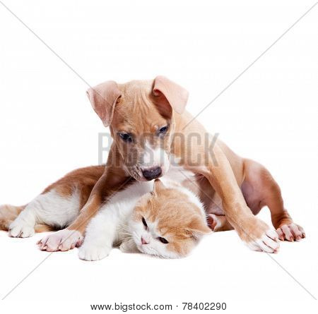 Staffordshire terrier puppy and british cat. Isolated on a white background