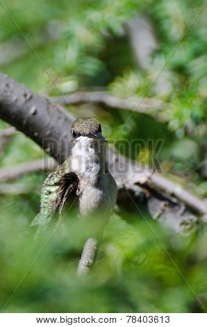 Hummingbird Making Eye Contact