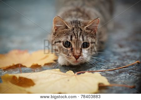 Striped With White A Cat And Autumn Leaves.