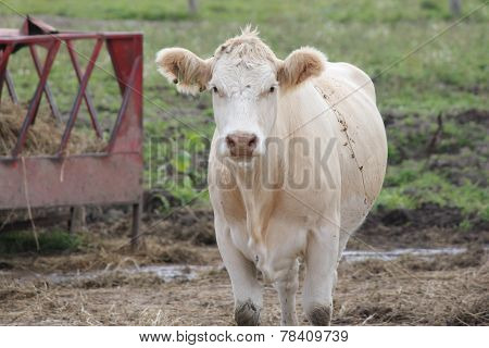 Cow in Feed Yard