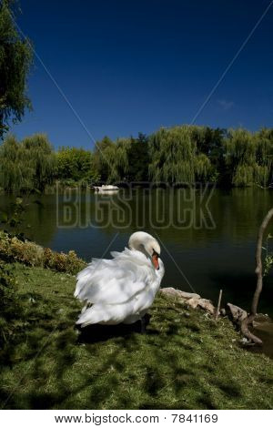 White swan in the lake