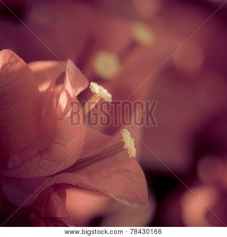 A soft background of bouganvillea petals close up