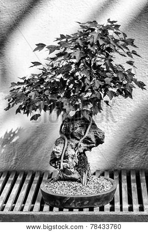 A very old bonsai tree in black and white.