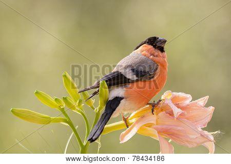 Bullfinch Flower Hold