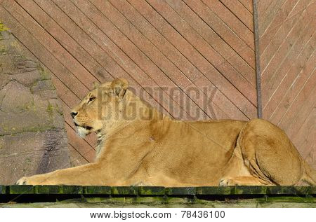 Large lion lying down